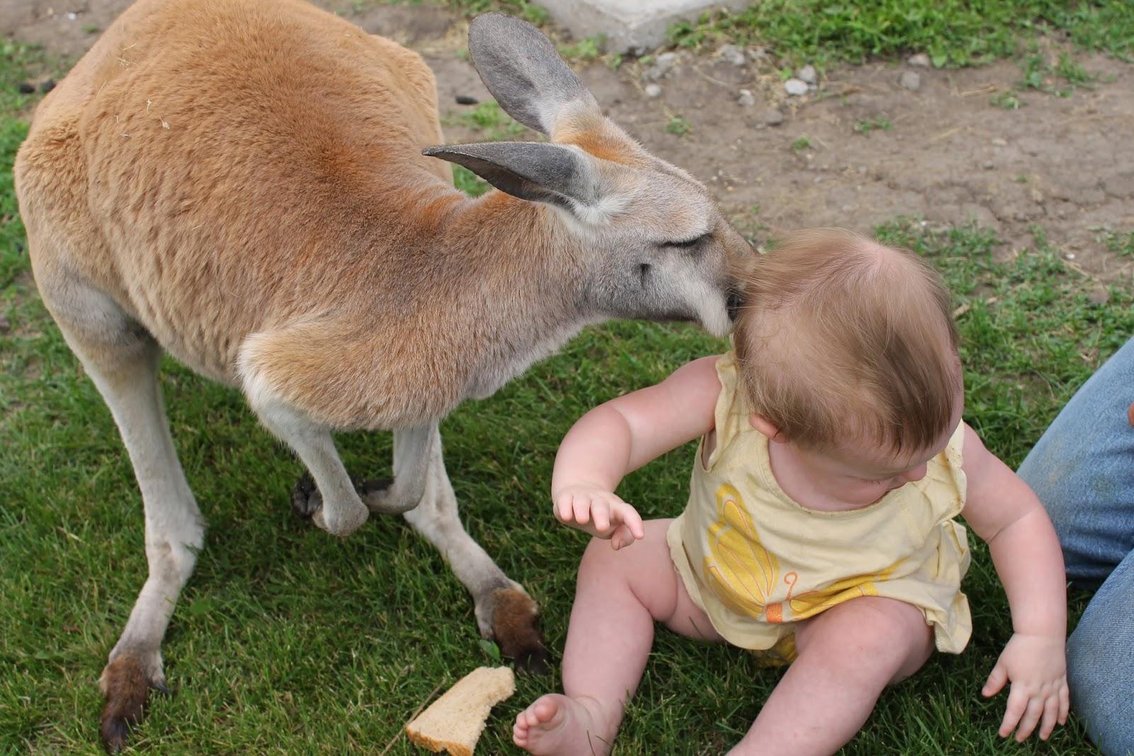 Hansen's Dairy Farm, Hudson, Iowa - Kangaroo