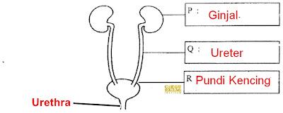 Sains menganalisa sistem urinari manusia