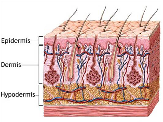 Diagram of Skin Layers