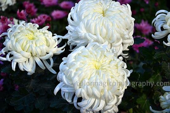 Big white chrysanthemum flowers