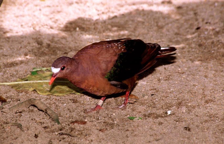 paloma esmeralda dorso pardo Chalcophaps stephani stephan`s dove
