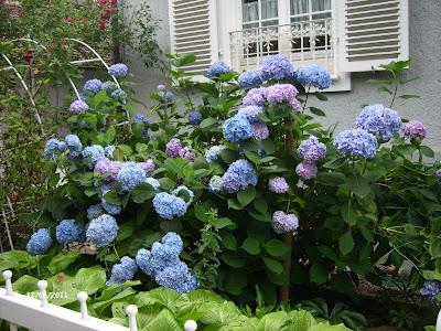rosenreslis traum blaue hortensien eine blume am mittwoch. Black Bedroom Furniture Sets. Home Design Ideas