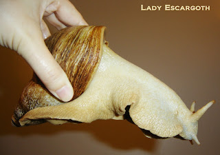archachatina marginata ovum albinos