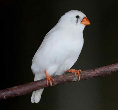 Finch Bird Picture