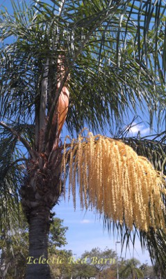 Eclectic Red Barn: Queen Palm Tree Flowering Yellow
