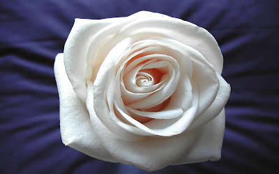 Best white rose wallpapers