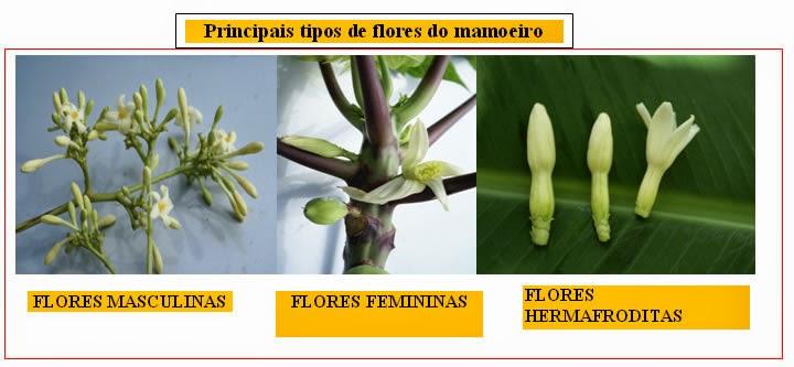 Principais tipos de flores do mamoeiro