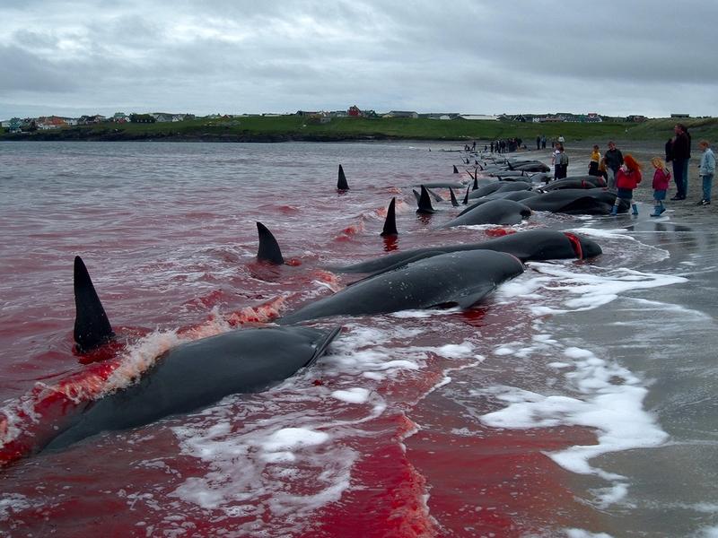 Matanza de ballenas en las Islas Feroe 15