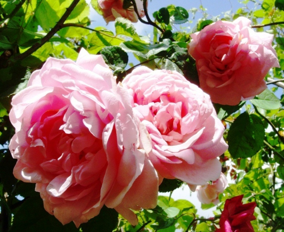 The basketry garden roses grow on you - Practical tips for gardening in june ...