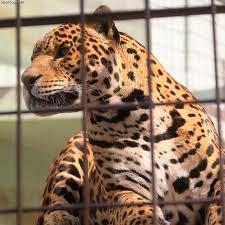 macan tutul contoh chordata