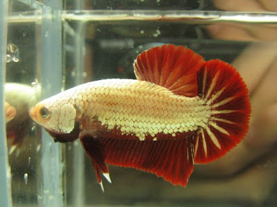 red dragon betta