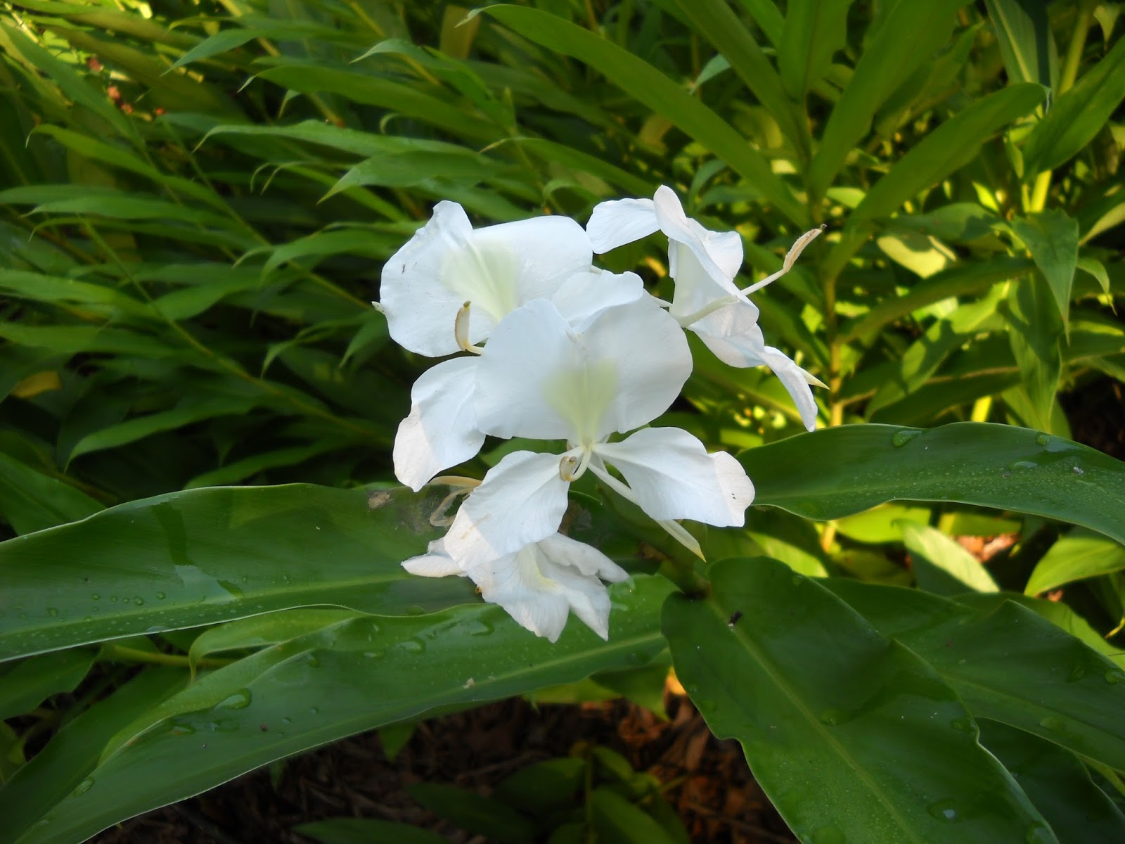 Gold Hill Plant Farm: White Ginger Lily
