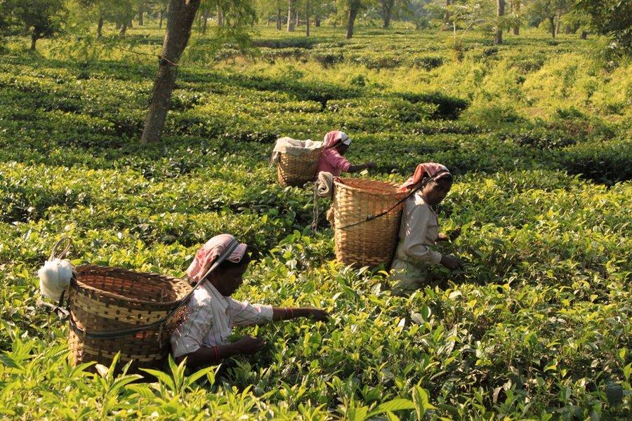 阿薩姆紅茶-茶園