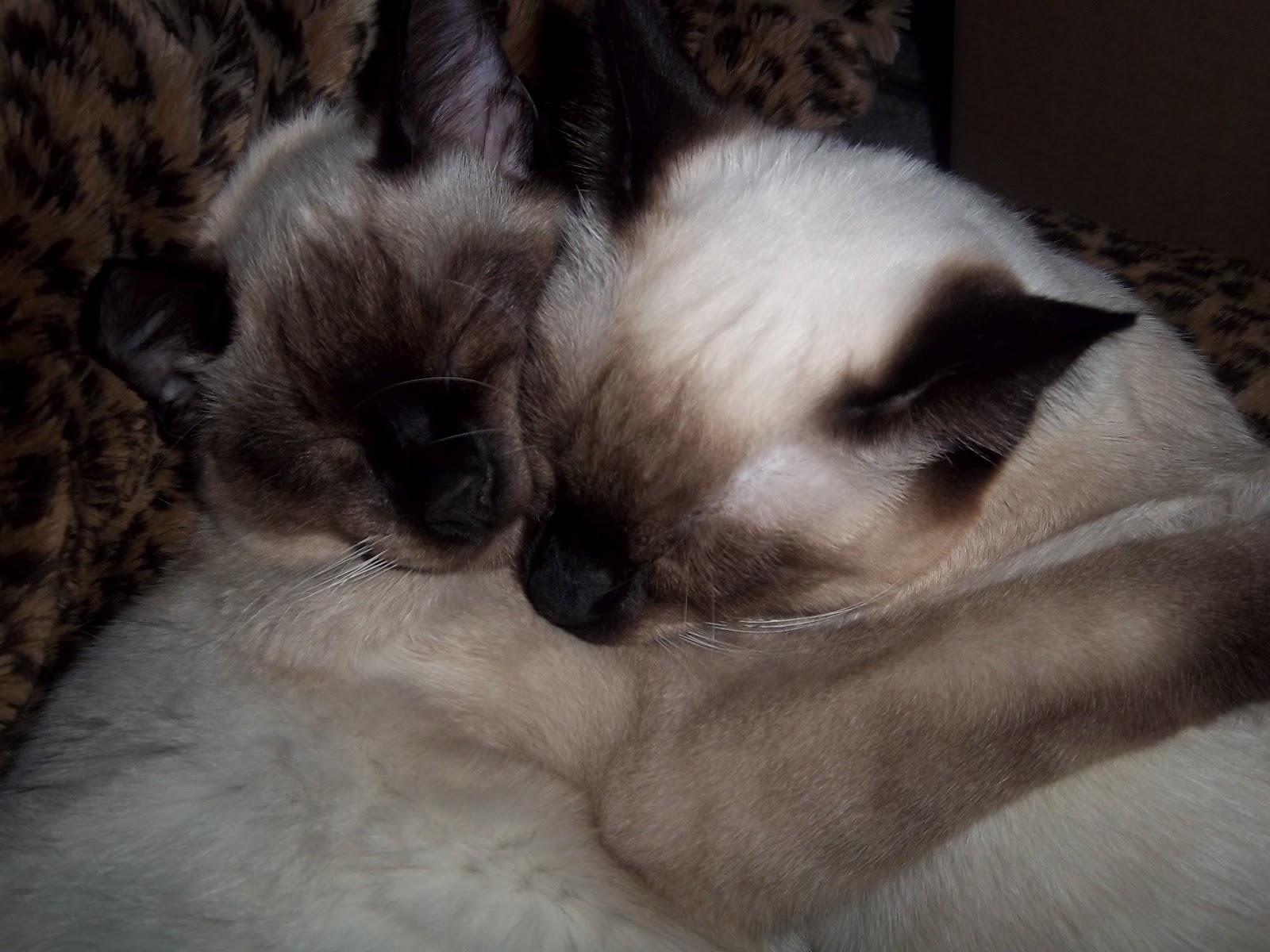 Shoreline Area News Kitten Adoptions At Aurora Village