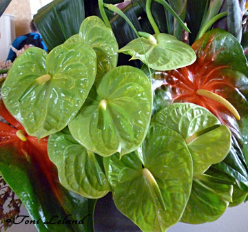 Young green Anthurium tropical plant by Toni Leland