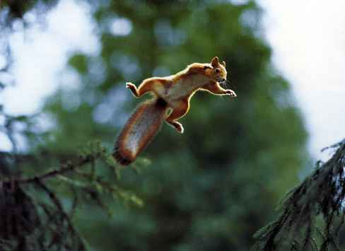 red jump fly squirrel - photo #25