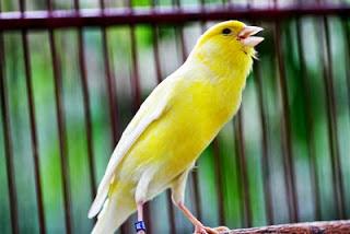 Cara Mudah Membuat Burung Kenari Cepat Gacor