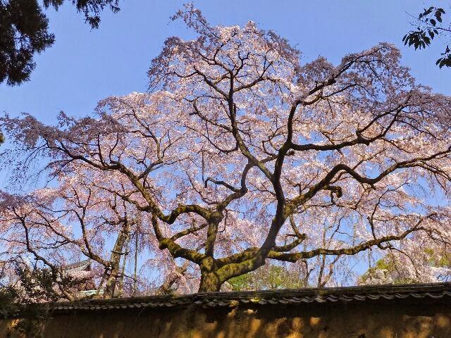 三宝院「土牛の桜」。