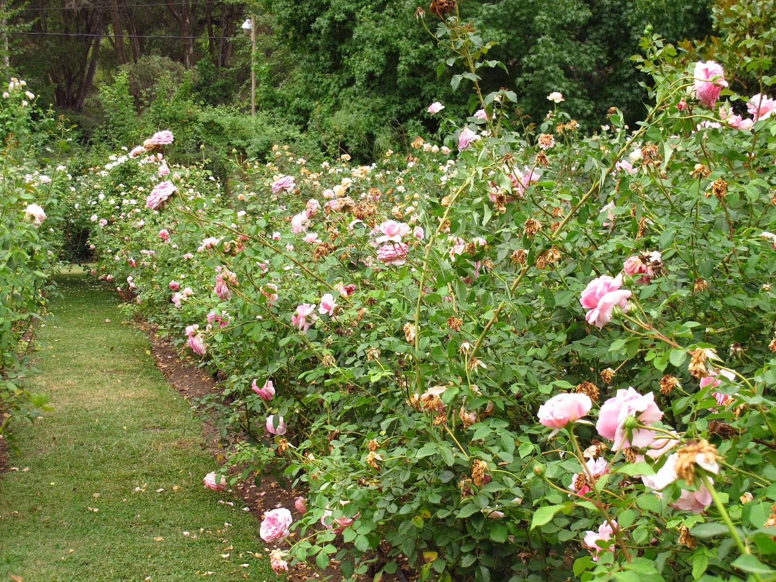 En el jardin poda de rosas en el verano for El jardin de verano