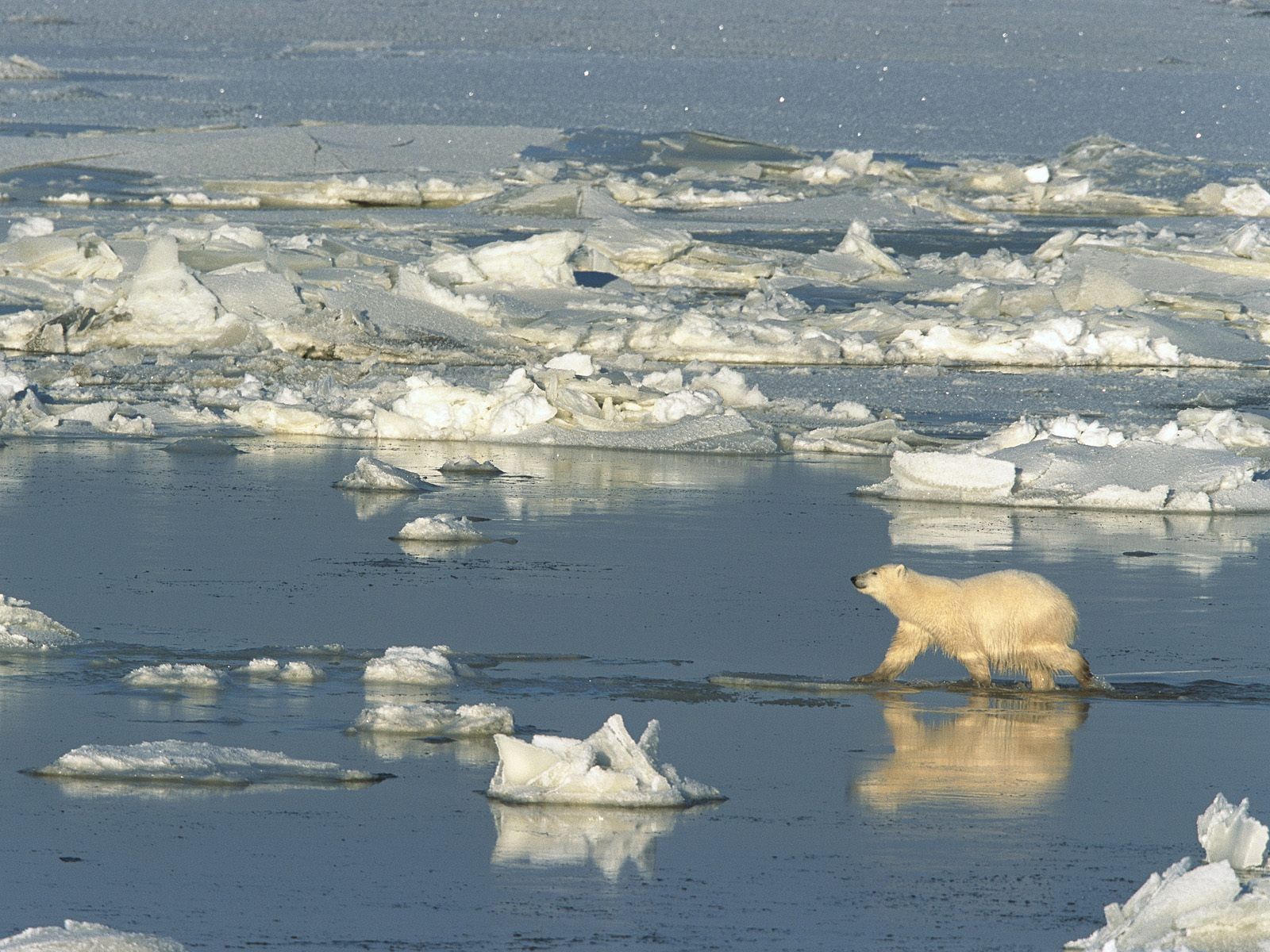 Polar_Bear_Crossing_the_Hudson_Bay_Churc