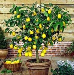 Healthy Food - Lemon and Lime