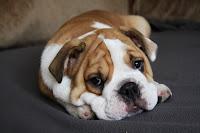 Adestramento de cachorros: Como ensinar seu cachorro a ficar deitado