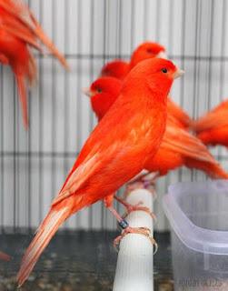 Kenari Merah
