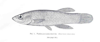 guatopote linea blanca Fundulus albolineatus