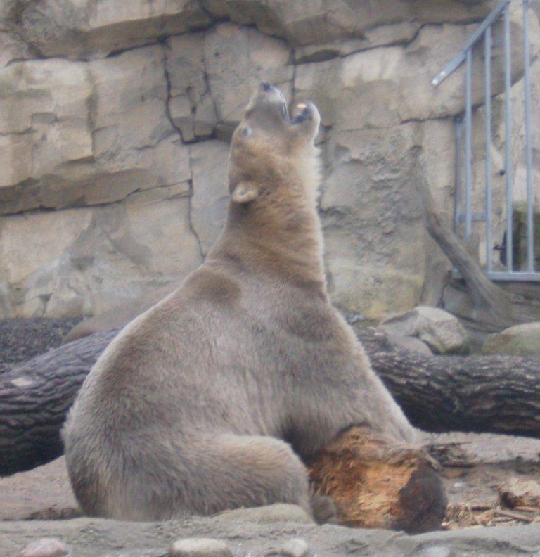 Un oso polar en el zoo de Bremerhaven (Alemania)