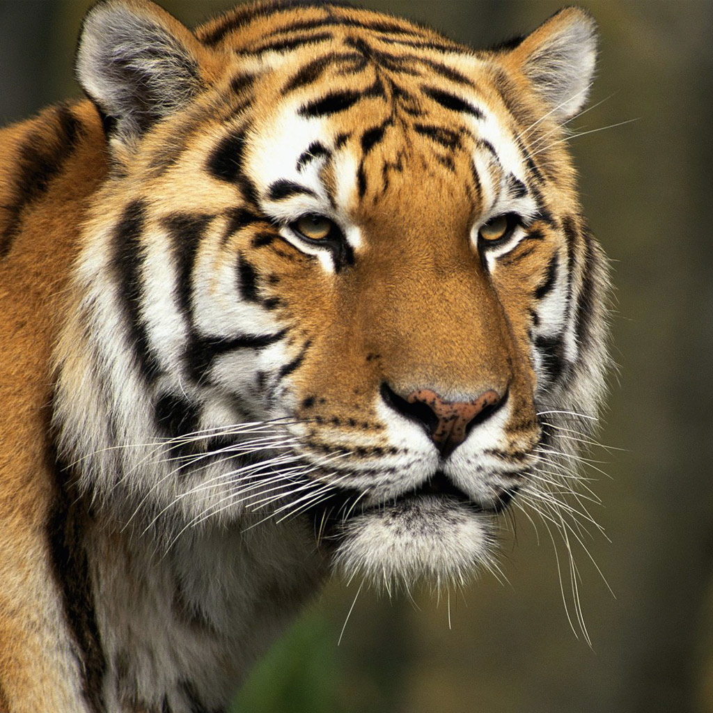 the siberian tiger Find the perfect siberian tiger stock photos and editorial news pictures from  getty images download premium images you can't get anywhere else.