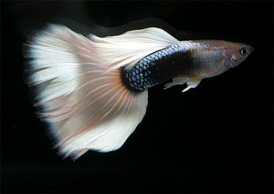 White Neon Guppy