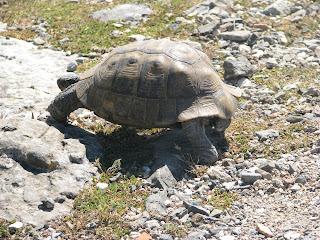 Tortoises Kos Island