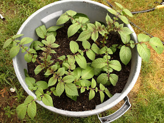 potatoe greens growing in a trash can