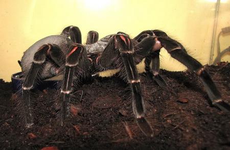 la mygale de leblond la plus grande araign 233 e du monde d astuces logiciels et d 233 couvertes