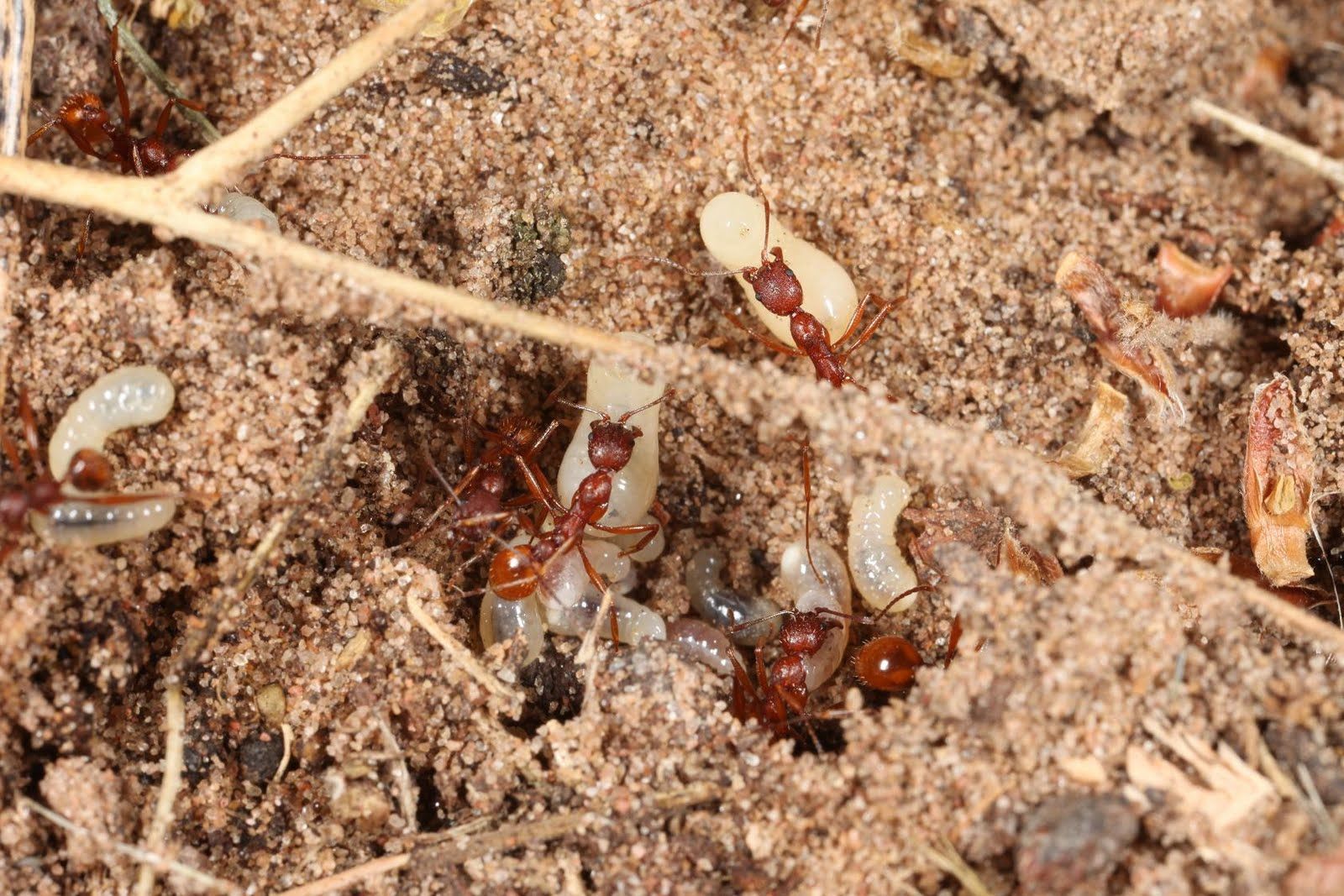 Harvester ants - photo#27