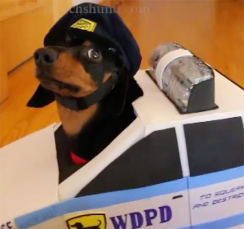 "Dachshunds Play ""Cops & Robbers"" – Crusoe & Oakley ..."