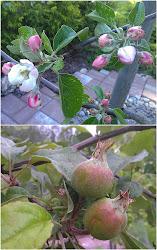 Äppelträd och annat grönt