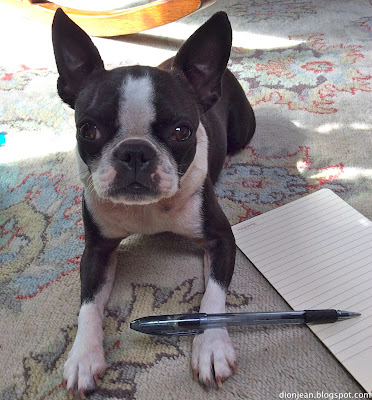Sinead the Boston terrier is ready to take notes