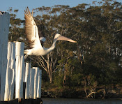 Australian Pelican takeoff