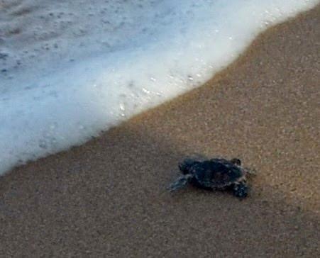 Tartaruga recém nascida a entrar no mar