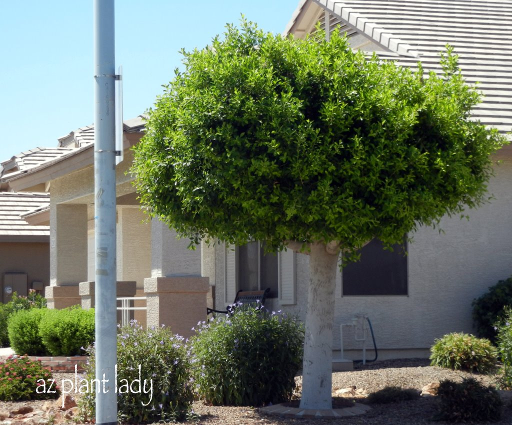 ficus trees too much hassle ramblings from a desert garden