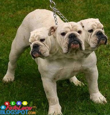 foto lucu Anjing Berkepala Tiga
