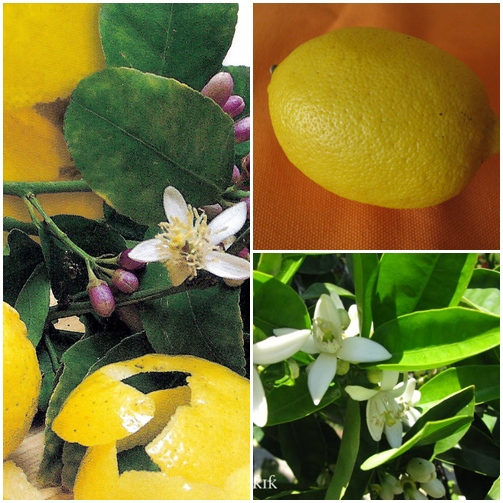 limon çiçekleri