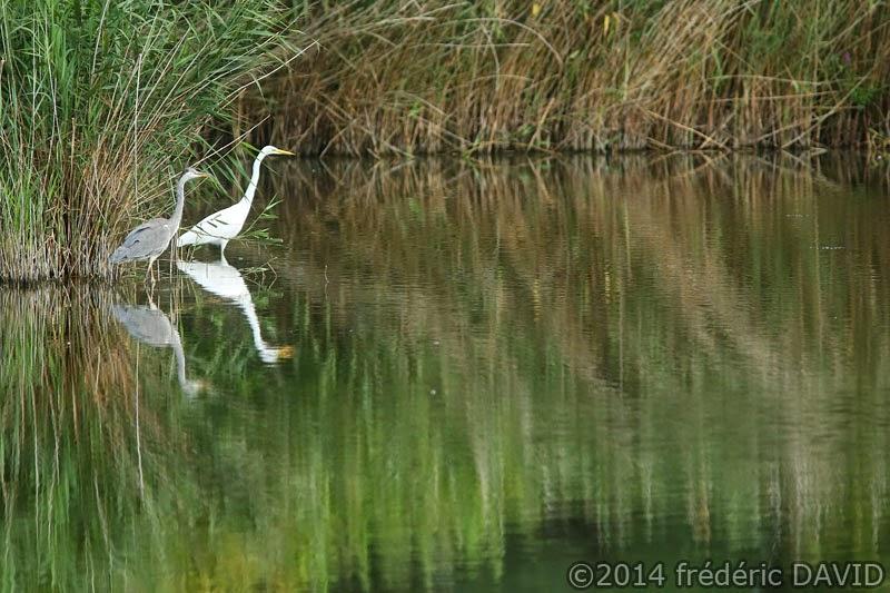 animaux oiseaux héron grand aigrette marais Itteville Essonne