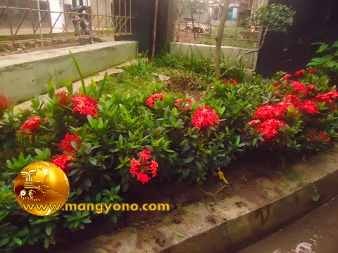 Bunga soka sebagai cover tanaman atau pembatas