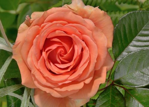 Asram rose сорт розы фото