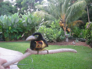 Touky, collared Aracari, La Ceiba, Honduras