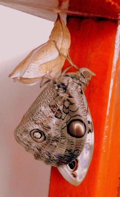 Mariposa fuera de su Capullo o Crisálida