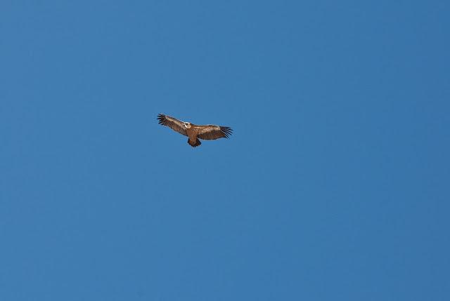 Avvoltoio Grifone avvistato sul Monte Infornace