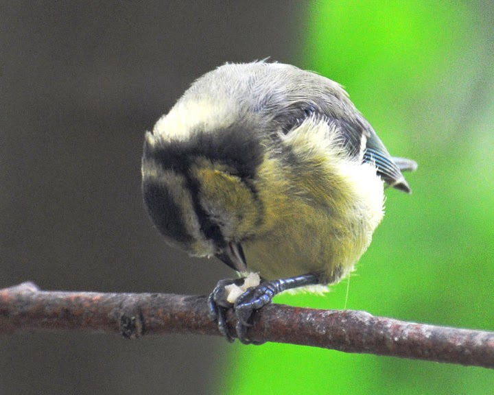 blue tit with nut